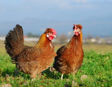 Ministrstvo poziva rejce perutnine k izvajanju biovarnostnih ukrepov za preprečitev vnosa aviarne influence v rejo
